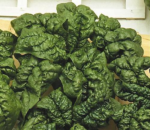 09515-fig-007-spinaci_america