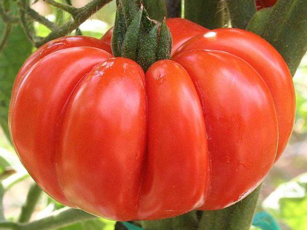 95-pomodoro-costoluto-fiorentino