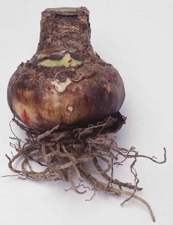 amaryllis-belladonna_o2