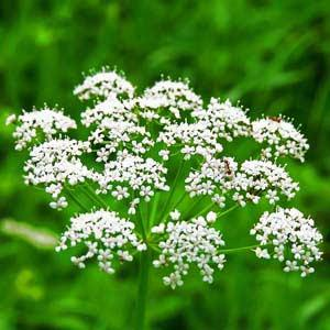 anice-fiori