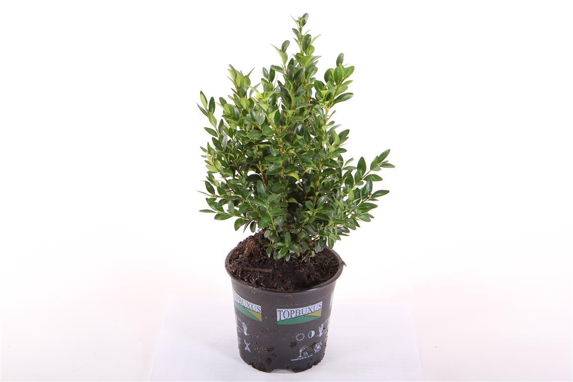 Bosso su vaso 13 buxus sempervirens linea verde for Bosso vaso
