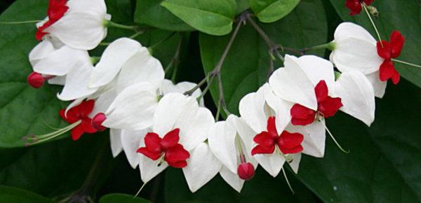 clerodendrum_thomsoniae_fiori