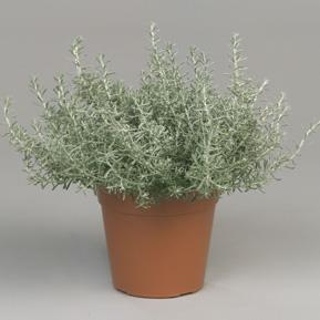 helichrysum-italicum-dwarf-curr_1_