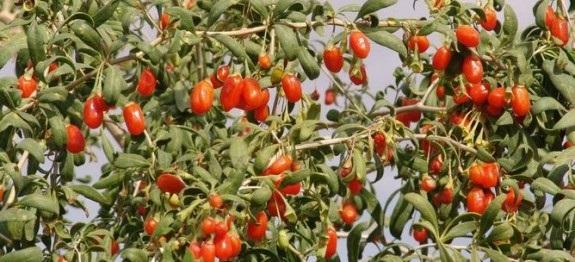 lycium-barbarum-bacche-di-goji-575×262