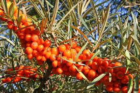 olivellospinoso