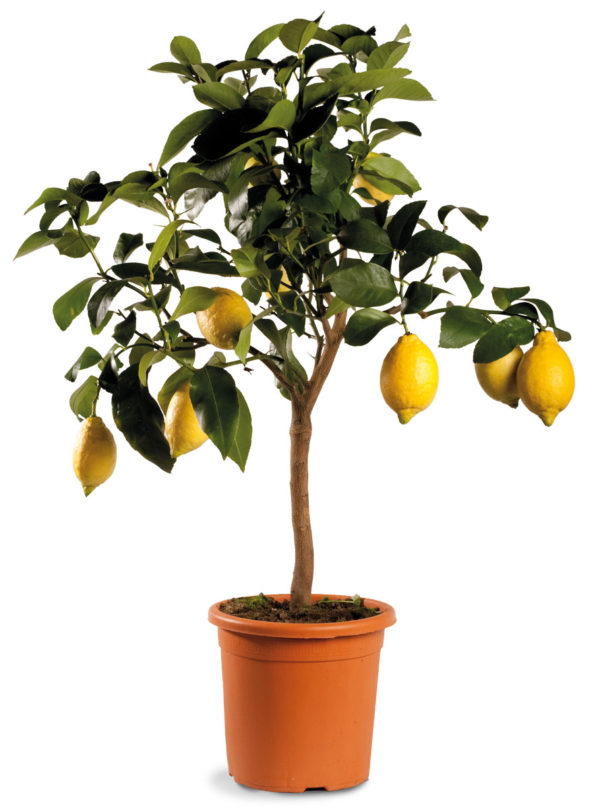 pianta-limone