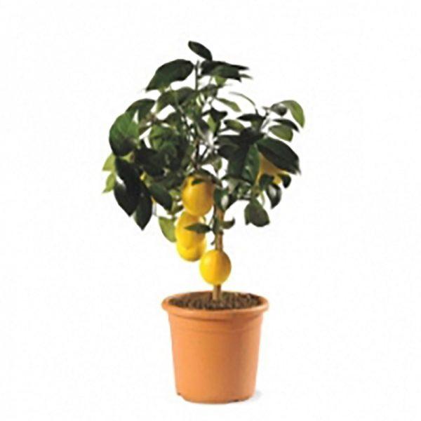 pianta-limone-meyer1_2_