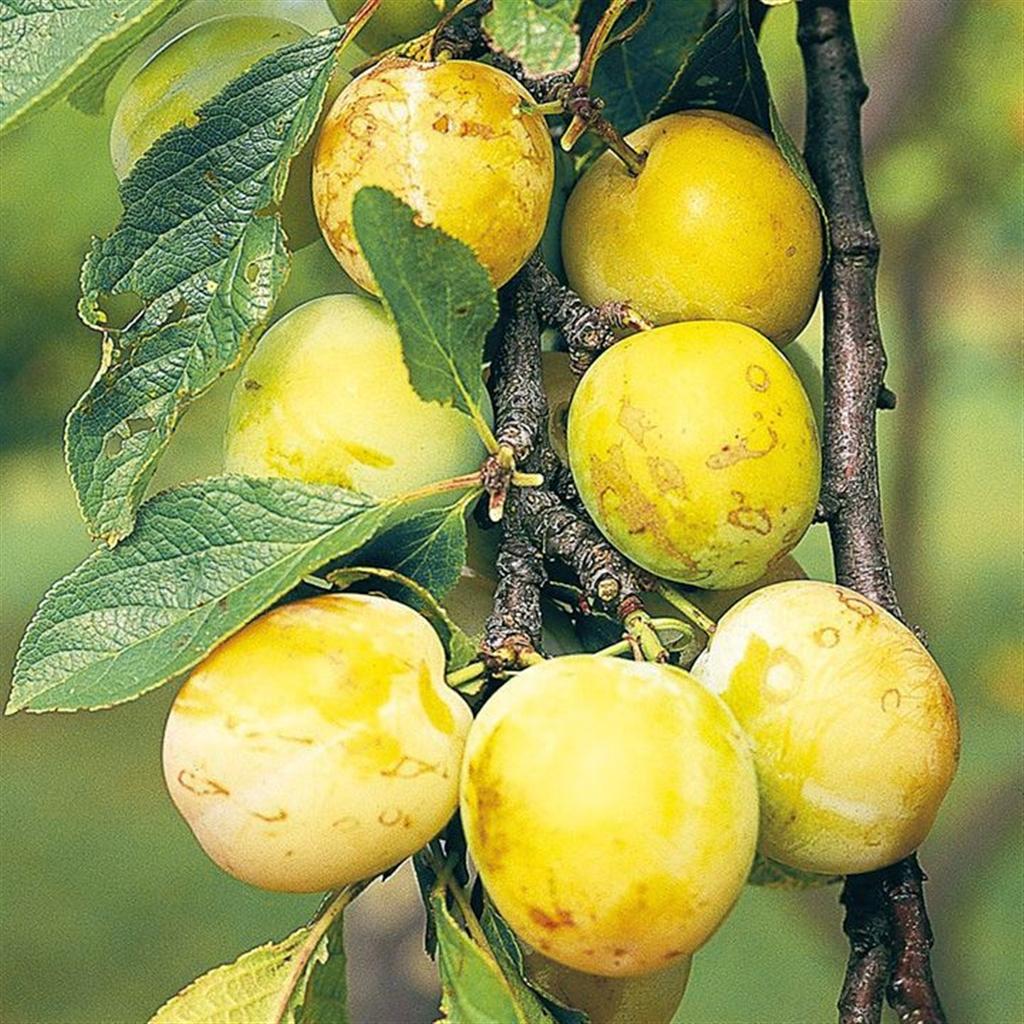 """Foto Di Alberi Da Frutto pianta di albero da frutto nano susino europeo """"yellow"""" su vaso cm 23"""
