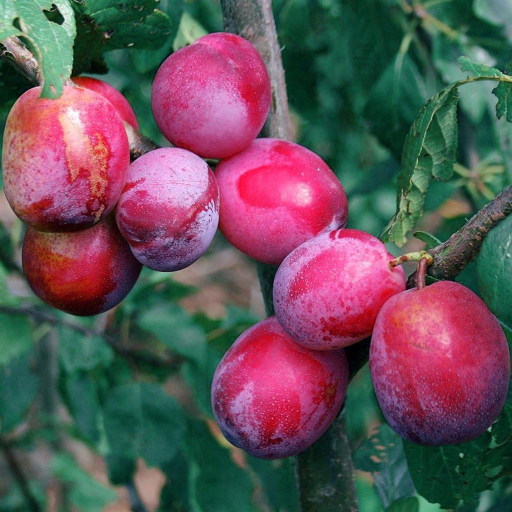 Foto Di Alberi Da Frutto pianta di albero da frutto nano susino red nose su vaso 23