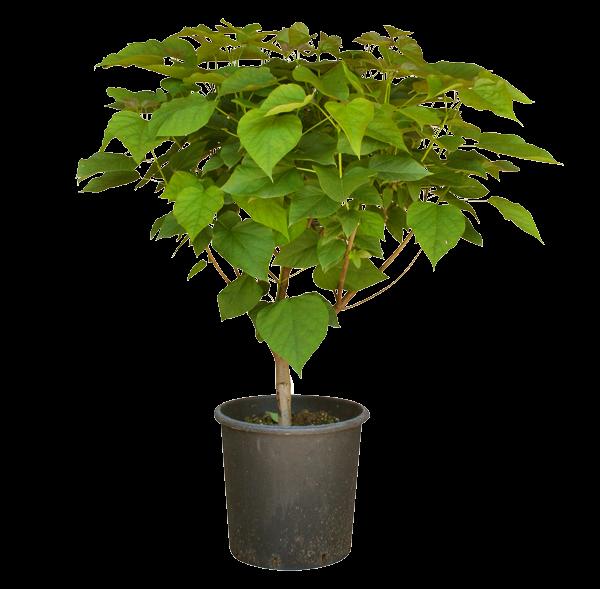 Catambra-cespuglio-3-anni-in-vaso